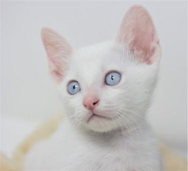 Khao manee kitten for sell white kitten comprar gato barcelona Gandalf 07
