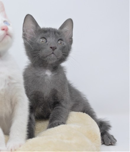 Khao manee kitten for sell white kitten comprar gato barcelona Goth 00