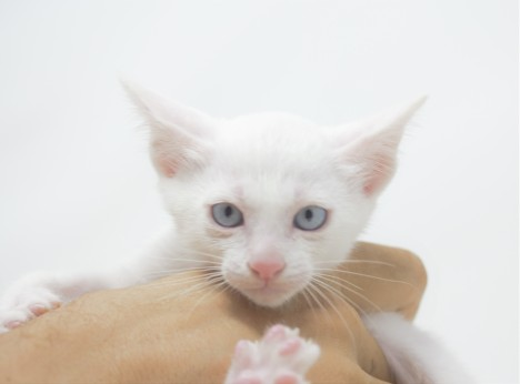 Khao manee kitten for sell white kitten gato barcelona Gallagher 01