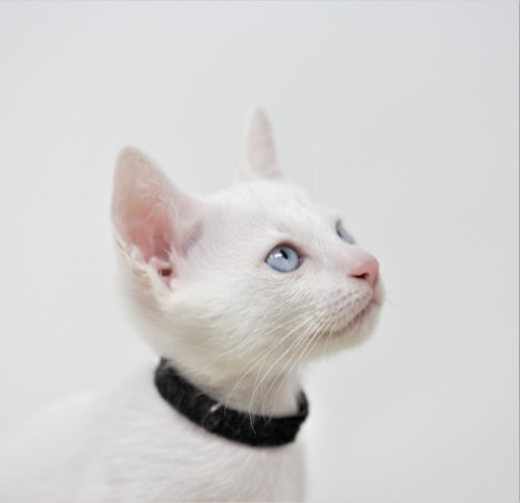 Khao manee kitten for sell white kitten gato barcelona Gallagher 02