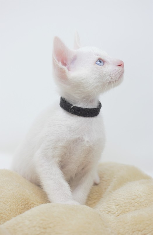 Khao manee kitten for sell white kitten gato barcelona Gallagher 03