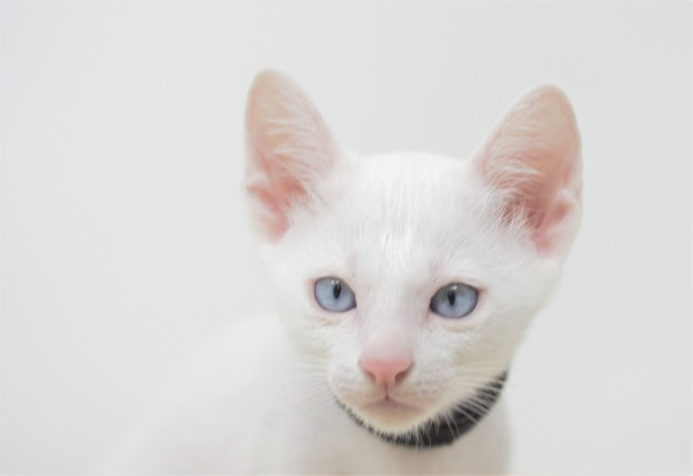Khao manee kitten for sell white kitten gato barcelona Gallagher 04
