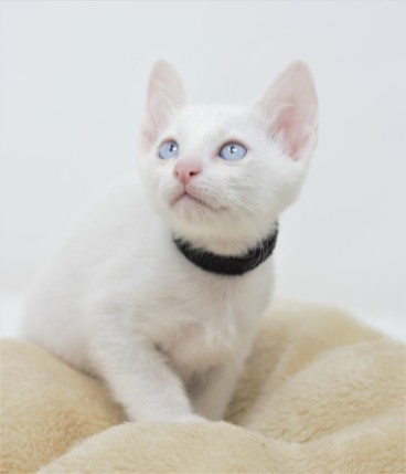 Khao manee kitten for sell white kitten gato barcelona Gallagher 06