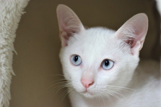 khao manee kitten barcelona gatito - Dot 01