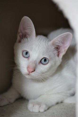 khao manee kitten barcelona gatito - Dot 02