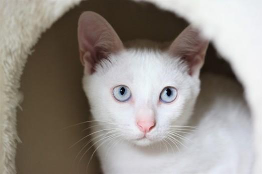 khao manee kitten barcelona gatito - Dot 03