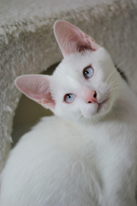 khao manee kitten barcelona gatito - Gandalf 01