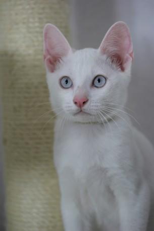 khao manee kitten barcelona gatito - Garibaldi 02