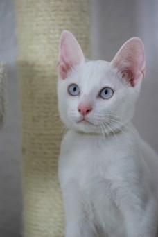khao manee kitten barcelona gatito - Garibaldi 06