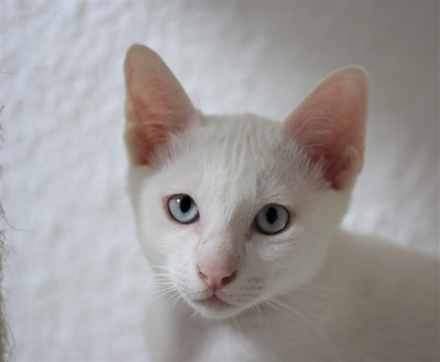 khao manee kitten barcelona gatito - Giovanni 03