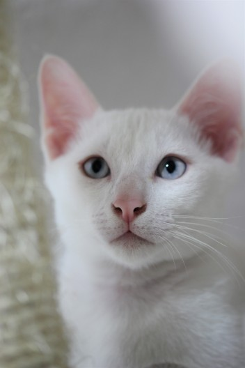 khao manee kitten barcelona gatito - Giovanni 04