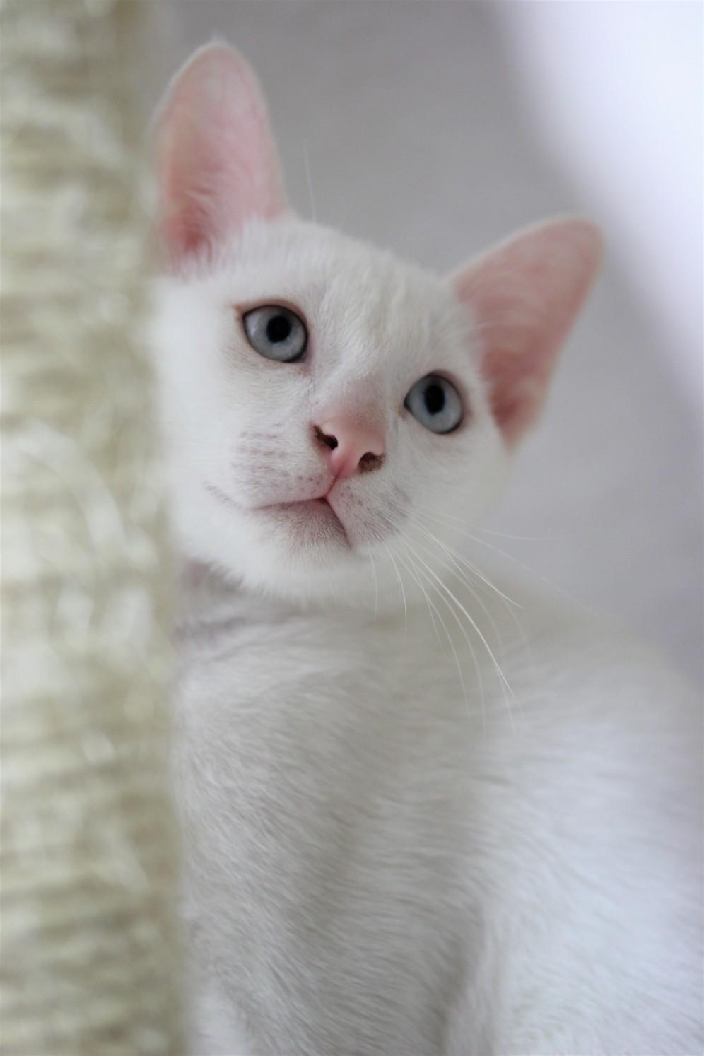khao manee kitten barcelona gatito - Giovanni 05
