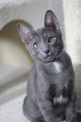 khao manee kitten barcelona gatito - Goth 01