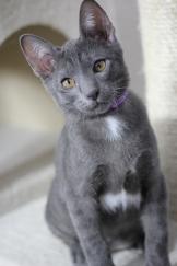 khao manee kitten barcelona gatito - Goth 02