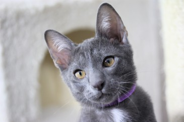 khao manee kitten barcelona gatito - Goth 03