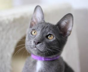 khao manee kitten barcelona gatito - Goth 04