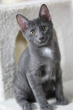 khao manee kitten barcelona gatito - Grey 01