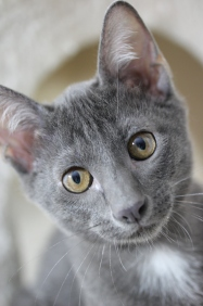 khao manee kitten barcelona gatito - Grey 03