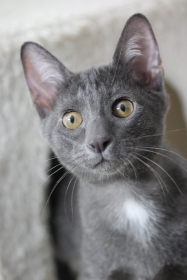 khao manee kitten barcelona gatito - Grey 05