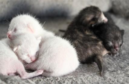 gato khao manee kitten barcelona - Camada P 05