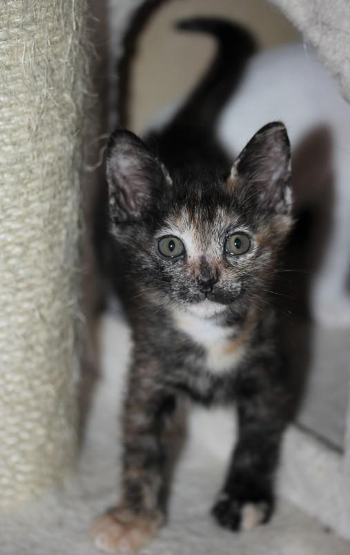Khao manee kitten barcelona - Mae 03