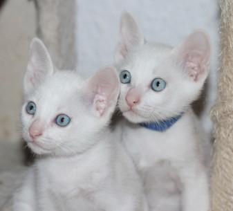 Khao manee kitten barcelona - Maui & Miko