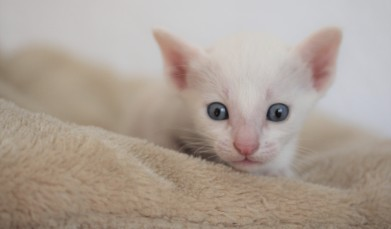 khao manee kitten barcelona - Miko 02