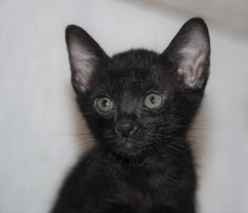 Khao manee kitten barcelona - Panigale 01