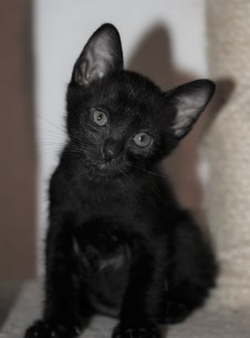 Khao manee kitten barcelona - Panigale 02